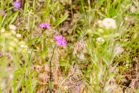 core eudicots: Wild pink Deptford Pink or Dianthus Armeria in a green meadow under the warm spring sun