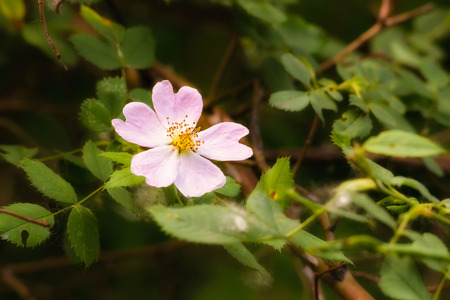 briar bush: A nice pink briar rose under the warm spring sun Stock Photo
