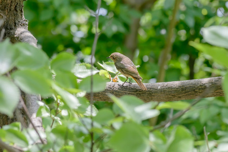 songster: A nightingale is perched on a branch in the wood close to the Dnieper river in Kiev the capital of Ukraine Stock Photo