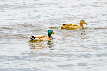 dnieper: Male and female Mallards are swimming on the Dnieper River in Kiev the capital of Ukraine