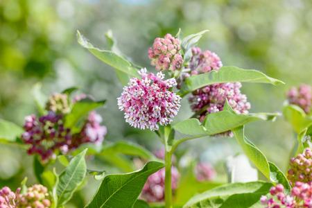 Macro van een roze en witte Milkweed bloem in de weide onder de warme lentezon