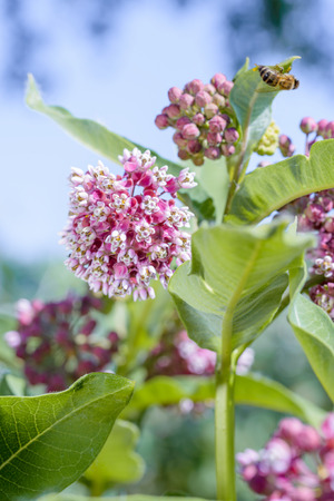 Macro of a pink and white Milkweed flower with a bee in the meadow under the warm spring sun 스톡 콘텐츠