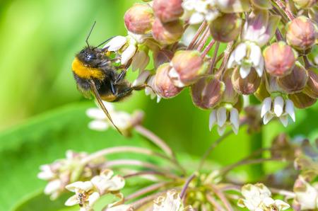 stamen wasp: A wild wet bee gathering pollen on a pink clover flower Stock Photo