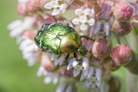 aurata: Macro photo of a  green Chafer Beetle (Cetonia aurata) eating a pink milkweed flower under the warm summer sun in the meadow Stock Photo