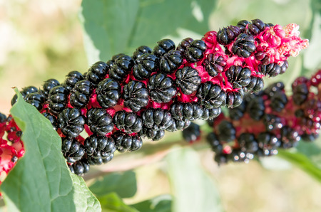 expectorant: Black and red Phytolacca Acinosa fruit