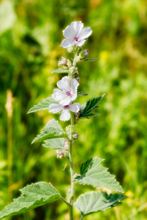 A white Marshmallow flower (Althaea) in the green meadow under the warm summer sun