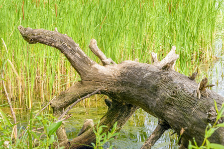 tree detail: An uprooted tree detail in the river with Typha Latifolia reeds in the background