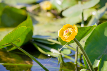 Yellow Nuphar Lutea in the Dnieper river under the warm summer sun