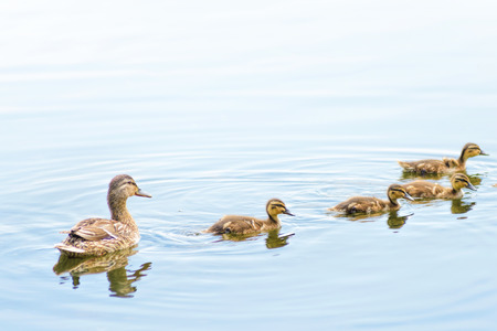 An adult female duck is swimming on the Dnieper river with by duckling family