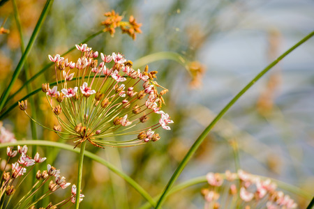 river       water: Butomus umbellatus growing near the Dnieper river in Kiev the capital of Ukraine Stock Photo