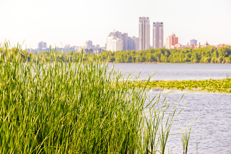 appears: Reeds (Typha Latifolia) grow close to the Dnieper River. The city of Kiev appears in the background Stock Photo