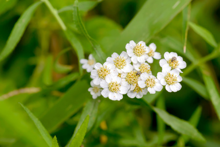Macro photo of a white Yarrow (Achillea) flower with  little beetles eating pollen