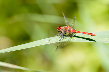 sympetrum: Red-veined darter (Sympetrum fonscolombii) on a leaf