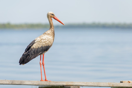 anastomus: A black and white stork is standing on a wooden pontoon close to the Dnieper river in Ukraine Stock Photo