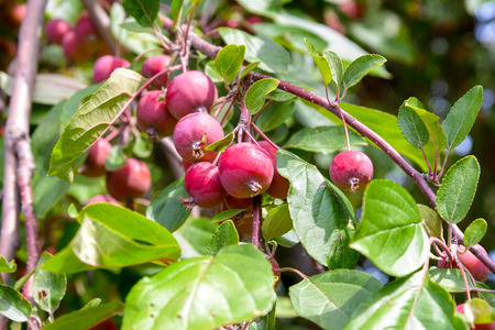 gelatine: The Malus RedSentinel apples are good for gelatine and jam. They are very sour and can not be eaten raw.