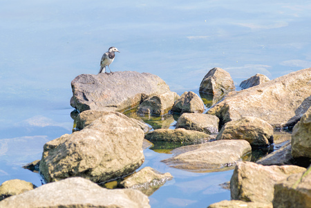 white wagtail: White wagtail standing on a rock close to the Dnieper river in Kiev, Ukraine