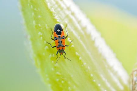 firebug: Black and red Firebug or Pyrrhocoris apterus on a Fruit of Asclepias Syriaca also called Milkweed Stock Photo