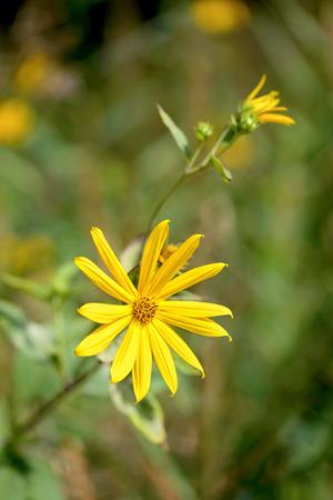 helianthus: Yellow Helianthus tuberosus or Jerusalem Artichoke flower growing near the lake