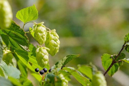 humulus: Female flowers of Humulus lupulus, also called hops, in the forest under the warm sun Stock Photo