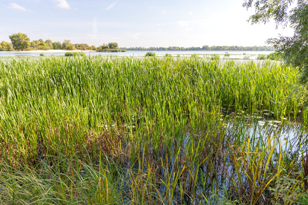 Nice end of summer day close to the Dnieper river with Nuphar lutea water lilies and Typha latifolia reeds in the water Stock Photo