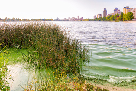 Traces of pollution and green algae in the Dnieper in Kiev close to a bush of Schoenoplectus reeds. The buildings of the Obolon district appear in the background Stock Photo