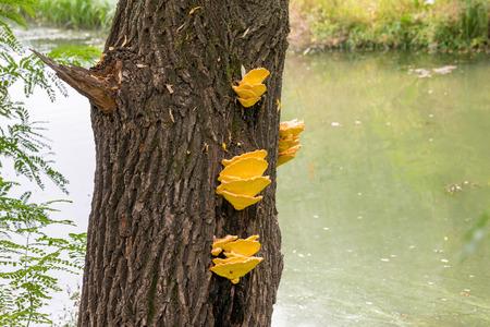 river trunk: Laetiporus sulphureus mushroom growing on a tree trunk near the Dnieper river in Kiev, Ukraine