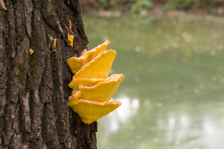 saprophyte: Laetiporus sulphureus mushroom growing on a tree trunk near the Dnieper river in Kiev, Ukraine