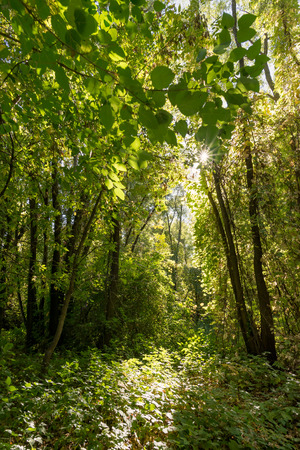 luxuriant: Inextricable and luxuriant green autumn forest in a sunny day
