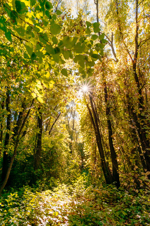 luxuriant: Inextricable and luxuriant yellow autumn forest in a sunny day