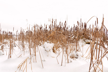 cattails: Dry Typha Latifolia flowers , also called Cattails, in the snow close to the frozen Dnieper river covered by the snow in winter, in Kiev, Ukraine Stock Photo