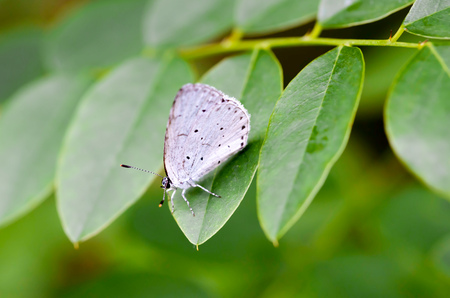 belongs: The holly blue (Celastrina argiolus) is a butterfly that belongs to the Lycaenids or blues family