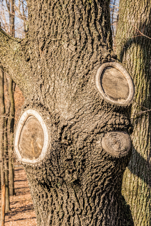 A poplar tree trunk with three scars due to branches having been cut