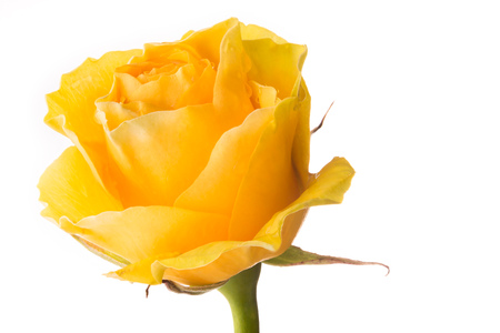 Closeup of a yellow rose on black background 写真素材