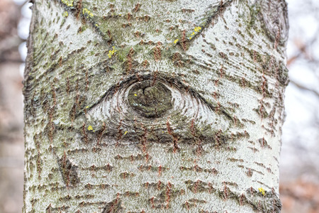 one eyed: One eyed white poplar trunk in the forest
