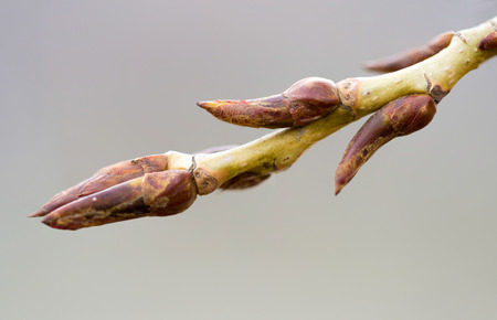 bough: A poplar bough with a young bud at the beginning of the spring