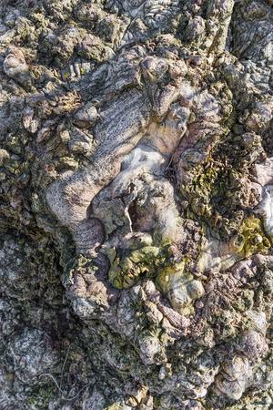 arbol alamo: Primer abstracto de nudos en una corteza de árbol de álamo