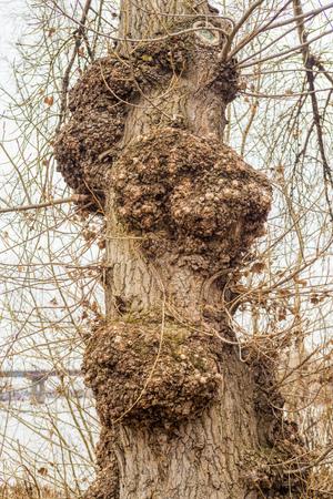 arbol alamo: Las torceduras en el tronco de un árbol de álamo blanco