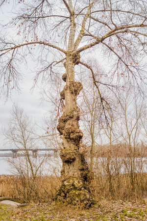 deformity: Burls on the trunk of a white poplar tree