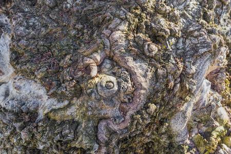 arbol alamo: Primer abstracto de nudos en una corteza de �rbol de �lamo