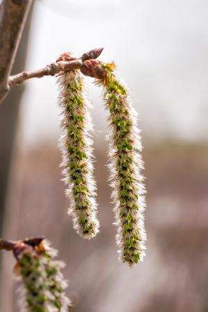 Backlit cluster van vrouwelijke trillend esp (Populus tremuloides) katjes, onder de zachte lentezon