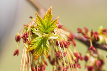 acer: Acer Negundo, young green leaves with seeds and flowers under the spring sun