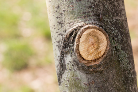 Detail of a branch cut off on a tree trunk