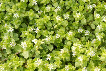 chickweed: Macro of white Stellaria media flowers (chickweed) under the soft spring sun Stock Photo