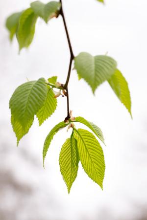 hornbeam: European or common hornbeam (Carpinus betulus) leaves under a strong spring light