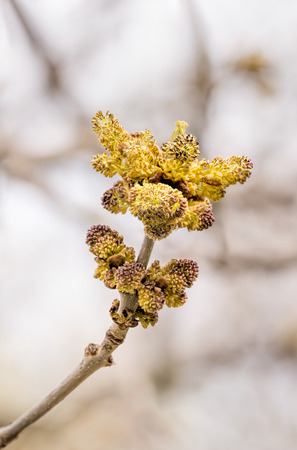 ash tree: Macro of Fraxinus, also called Ash tree, flowers of catkin, at the beginning of spring