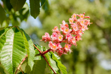 buckeye tree: Red Aesculus x Carnea, or Red Horse-chestnut Flower under the bright spring sun