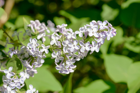 green and purple: Light purple pink Syringa Vulgaris Madame Lemoine Flowers, French Lilac, under the warm spring sun