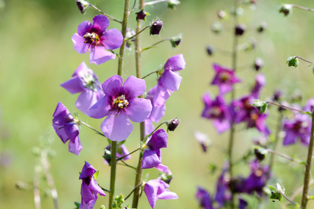 A mauve Verbascum phoeniceum in the meadow under the warm spring sun Stock Photo