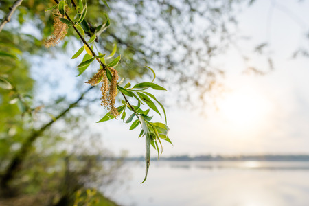weeping willow: A strong backlight shows the transparency of weeping willow leaves close to the lake in spring