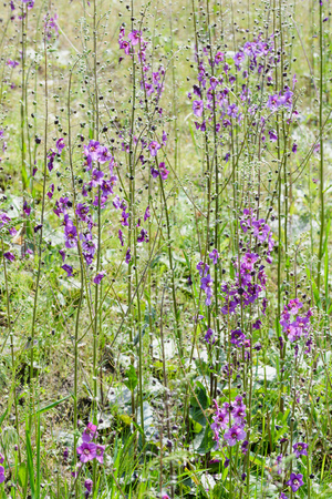 temptress: A meadow full of violet Verbascum phoeniceum under the warm spring sun